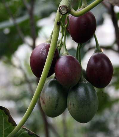 tretomat_frukt